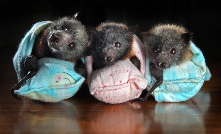Fruit Bats, Orphaned