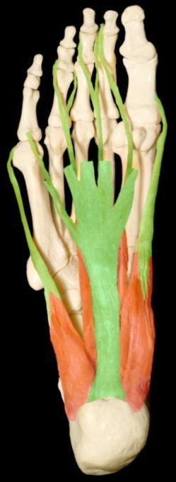 Figure 2: Anatomy of the plantar fascia.